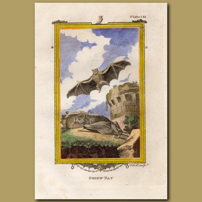 Shrew Bat: Genuine antique print for sale.