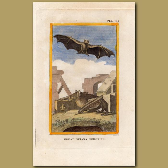 Great Guiana Serotine Bat: Genuine antique print for sale.