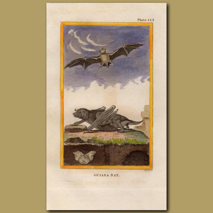 Guiana Bat: Genuine antique print for sale.