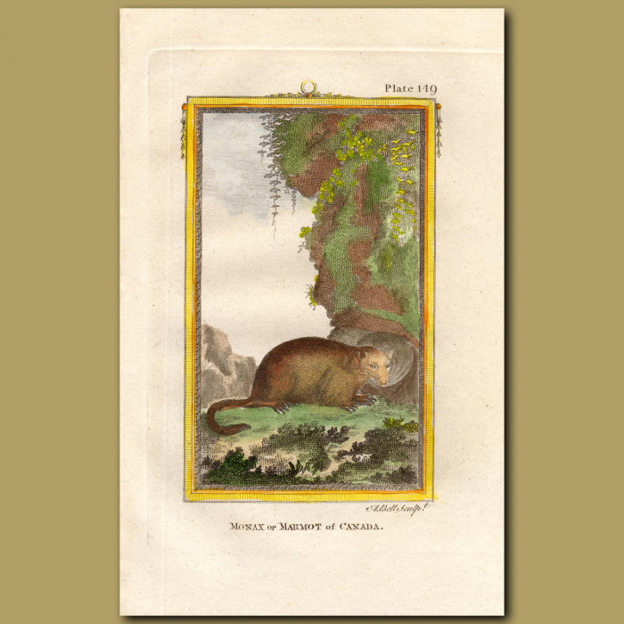 Marmot Of Canada: Genuine antique print for sale.