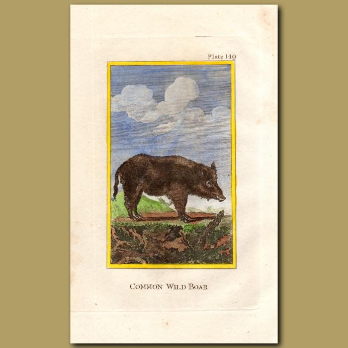 Common Wild Boar: Genuine antique print for sale.