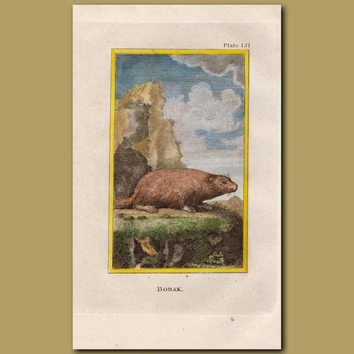Bobak: Genuine antique print for sale.
