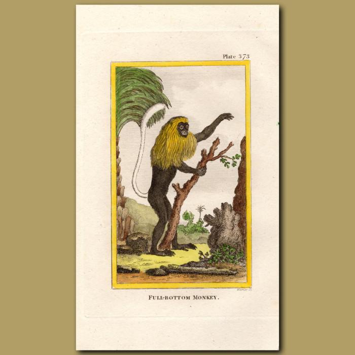 Full-bottom Monkey: Genuine antique print for sale.