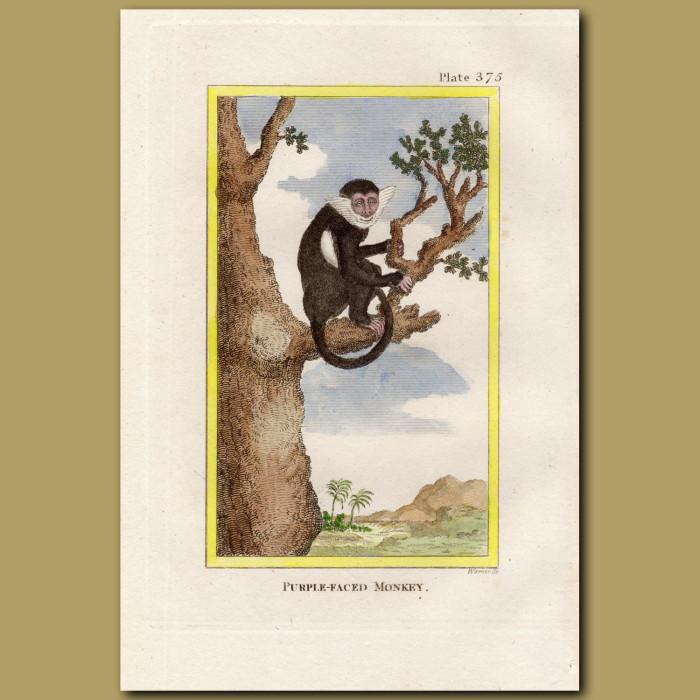 Purple-faced Monkey: Genuine antique print for sale.