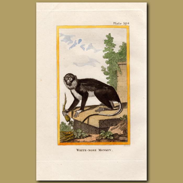 White-nose Monkey: Genuine antique print for sale.