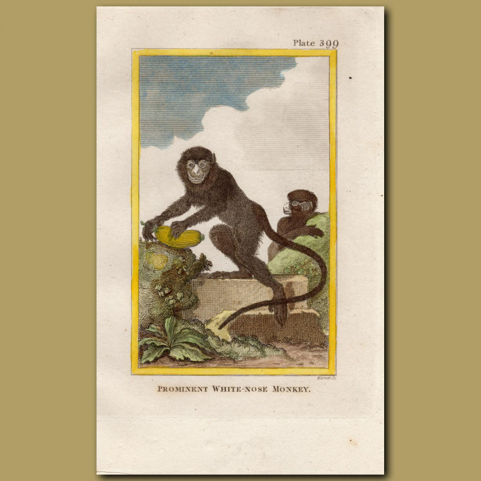 Prominent White-nose Monkey: Genuine antique print for sale.