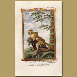 Samiri or Orange Monkey
