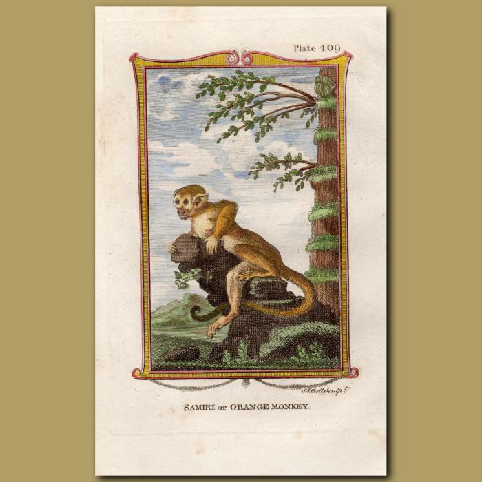 Samiri or Orange Monkey: Genuine antique print for sale.