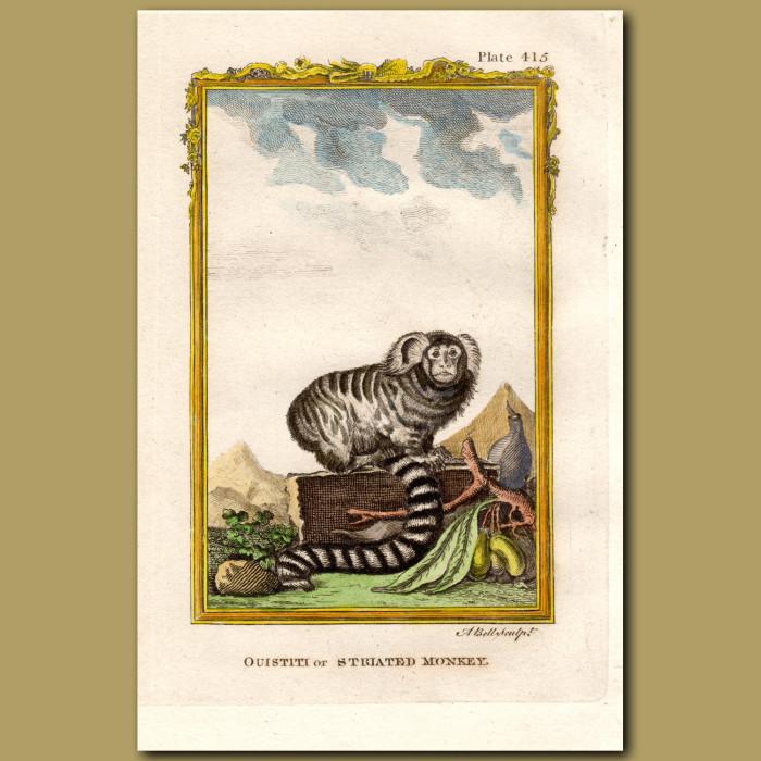 Ouistiti or Striated Monkey: Genuine antique print for sale.