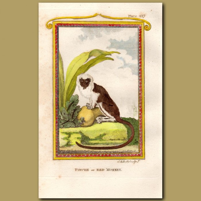 Red Monkey or Cottontop Tamarin: Genuine antique print for sale.