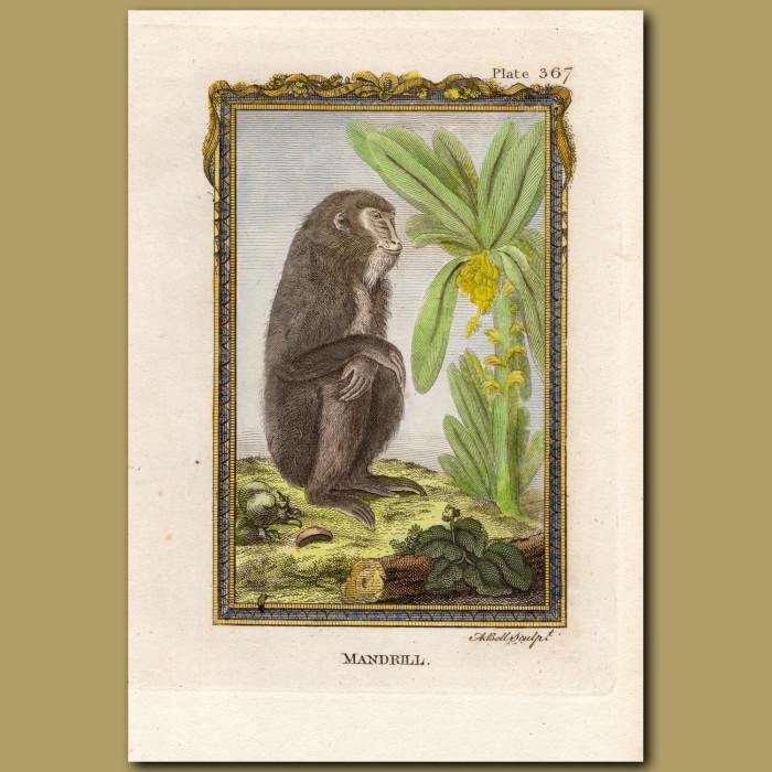 Mandrill: Genuine antique print for sale.