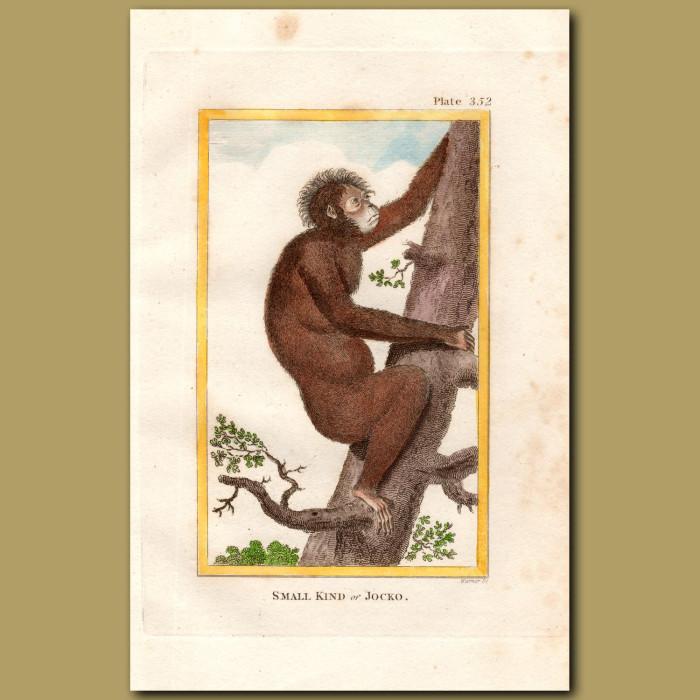 Orangutan: Genuine antique print for sale.
