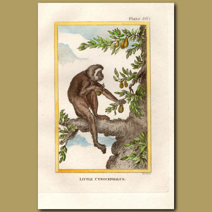Little Cynocephalus or Yellow Baboon: Genuine antique print for sale.
