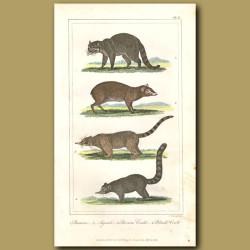 Racoon, Agouti, Brown Coati, Black Coati