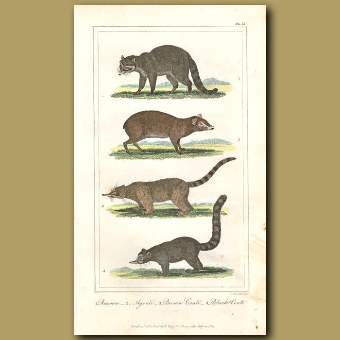 Antique print. Racoon, Agouti, Brown Coati, Black Coati