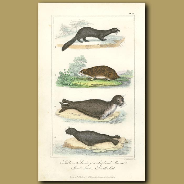 Antique print. Sable, Lemming, Marmot, Great and Small Seals