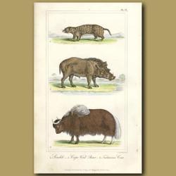 Souslik, Cape Verd Boar, Tartarian Cow