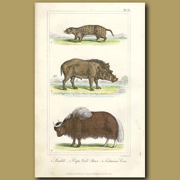 Antique print. Souslik, Cape Verd Boar, Tartarian Cow