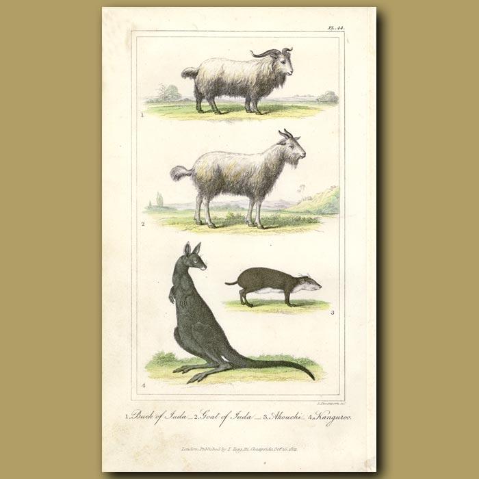 Antique print. Sheep of Juda, Akouchi, Kangaroo
