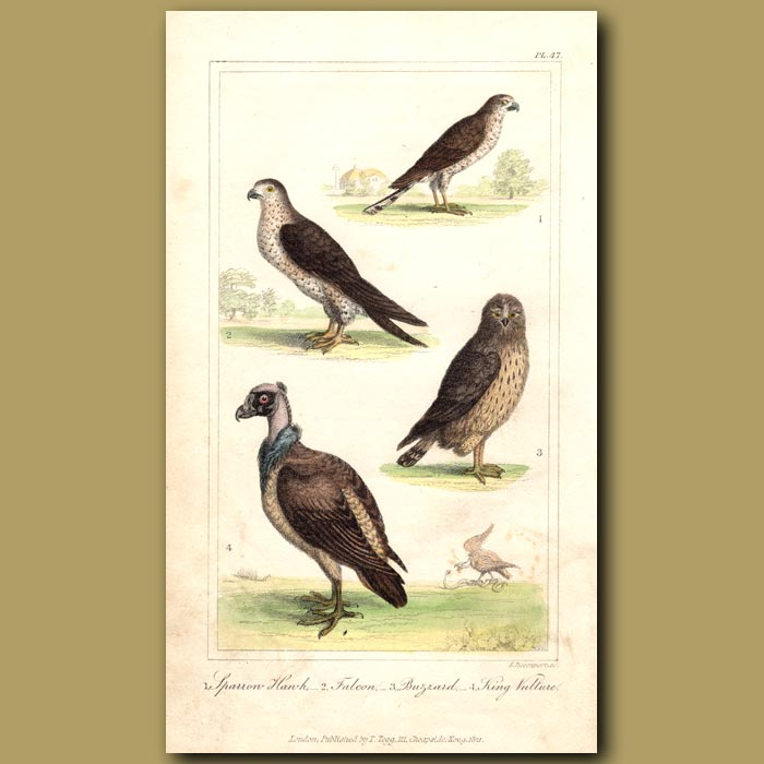 Antique print. Sparrow Hawk, Falcon, Buzzard, King Vulture