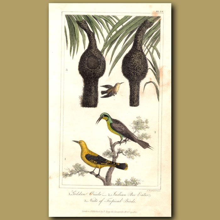 Antique print. Golden Oriole, Indian Bee Eaters, Nests