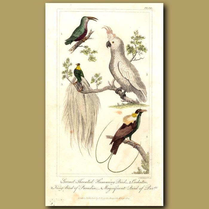 Antique print. Garnet Throated Hummingbird, Cockatoo, Birds Of Paradise