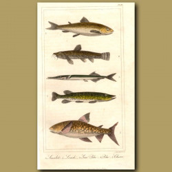 Loach, Pike, Char, Samlet (Small Salmon)