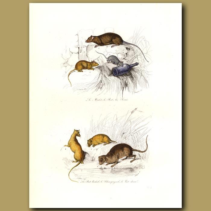 Antique print. Various Rats