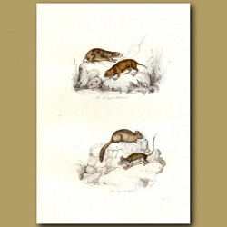 Lemmings and Voles