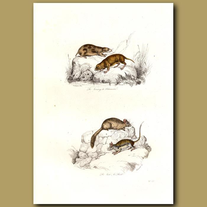 Antique print. Lemmings and Voles