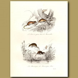 Water voles and rats