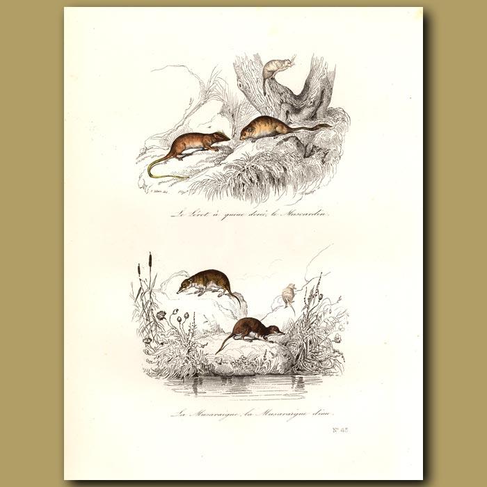 Antique print. Water voles and rats
