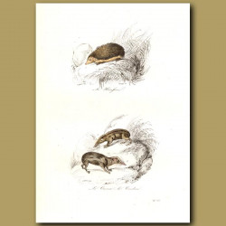Hedgehog, Tanrec and Tendrac (both from Madagascar)