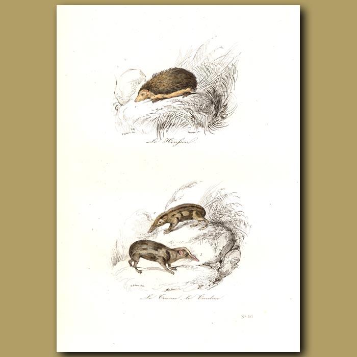 Antique print. Hedgehog, Tanrec and Tendrac (both from Madagascar)