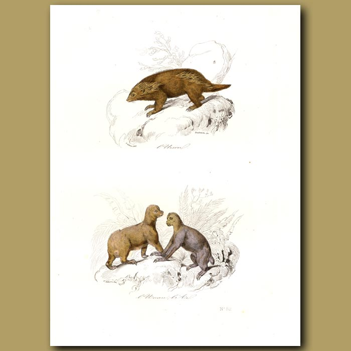 Antique print. Porcupines of Hudson Bay and India