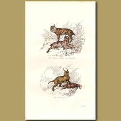 Lynx and Caracal