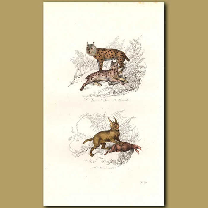 Antique print. Lynx and Caracal