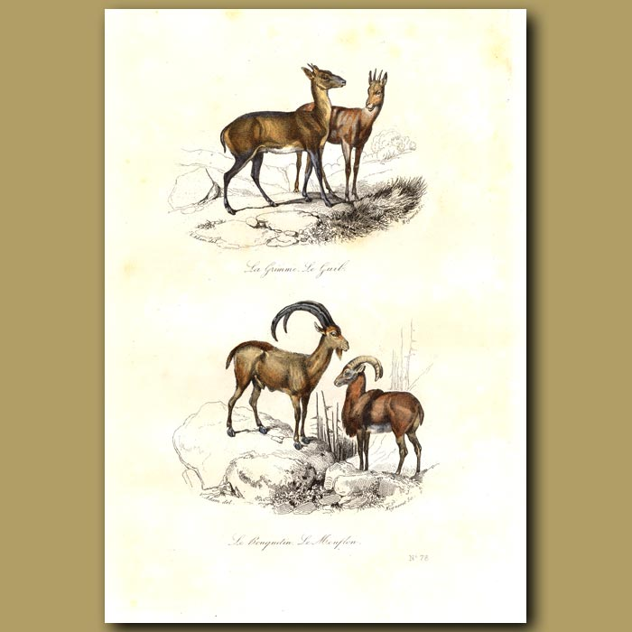 Antique print. Mountain Sheep and Duiker