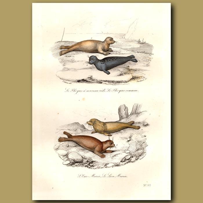 Antique print. Seals and Sea Lions
