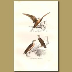 Small Eagle and Buzzard