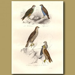 Falcons And Hobby Kite