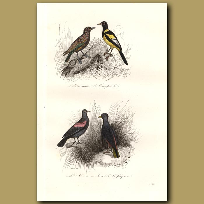 Antique print. Starling and Red Winged Starling