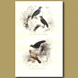 Blue Ouzel And Bald Starling
