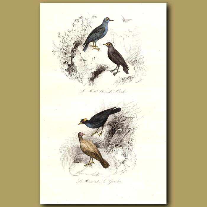 Antique print. Blue Ouzel and Bald Starling