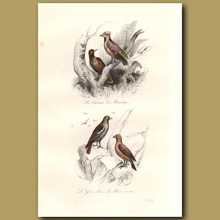 Antique print. Martin and Crossbill