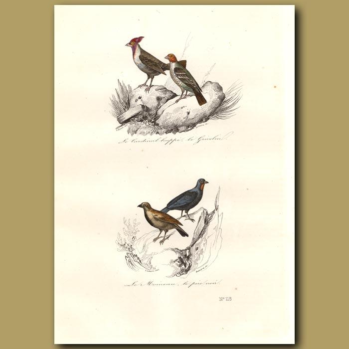 Antique print. Cardinal and House Sparrow
