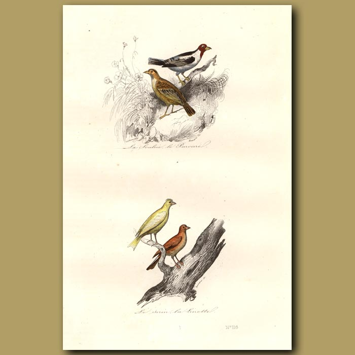 Antique print. Soulcie and Canaries