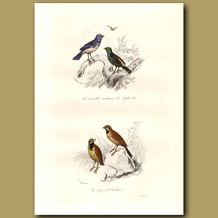 Antique print. Paradise Tanager and Ortolan Bunting