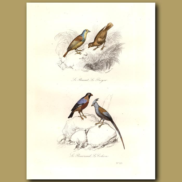 Antique print. Corn Bunting, Finch and Mousebird