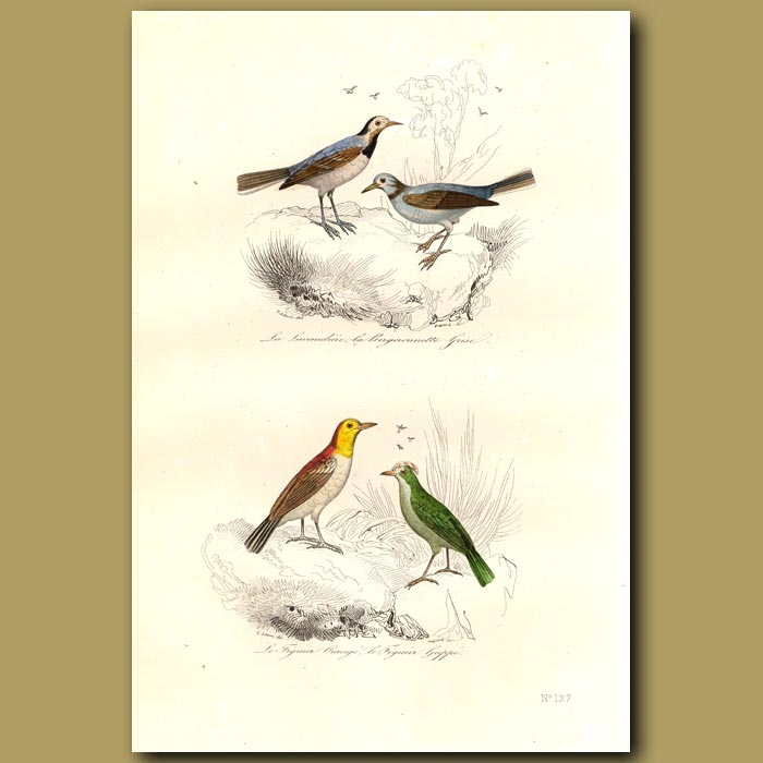 Antique print. Wagtail and Figbirds